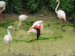 Rosa_Flamingo_9541_1024