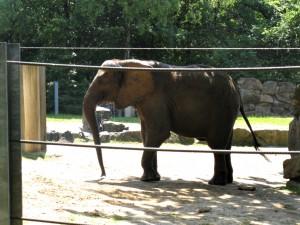 Afrikanischer_Elefant_1063_1024