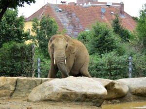 Afrikanischer_Elefant_3469_1024