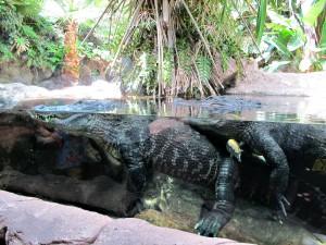 Alligator_2297_1024