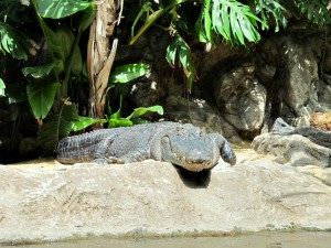 Alligatoren_2298_1024