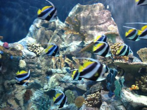 Aquarium_Gemeiner_Wimpelfisch_2544_1024