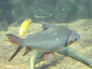 Aquarium_Gezeichneter_Barbensalmler_2527_1024