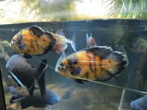 Aquarium_Pfauaugenbuntbarsch_2522_1024