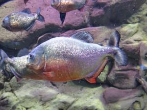 Aquarium_Sägesalmler_2531_1024