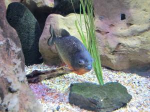 Aquarium_Sägesalmler_2532_1024