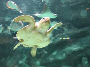 Aquarium_Unechte_Karettschildkröte_2536_1024