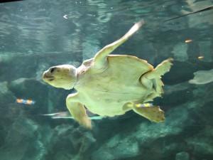 Aquarium_Unechte_Karettschildkröte_2537_1024