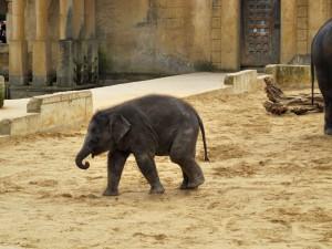 Asiatischer_ Elefant_1316_1024