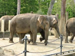 Asiatischer_ Elefant_1360_1024
