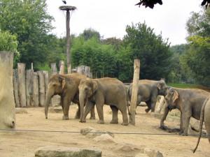 Asiatischer_Elefant_0017_1024