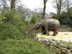 Asiatischer_Elefant_1220_1024
