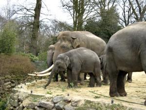 Asiatischer_Elefant_1223_1024