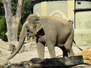 Asiatischer_Elefant_3537_1024
