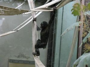 Bonobo_5186_1024