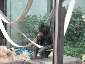 Bonobo_5187_1024