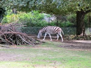 Damara-Zebra_0810_1024