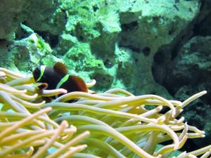Dreibinden-Anemonenfisch_0437_1024