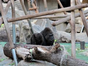 Flachland-Gorilla_3629_1024