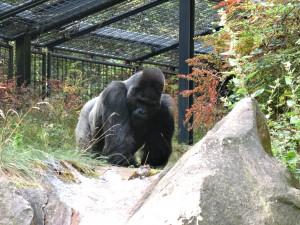 Flachland-Gorilla_4840_1024