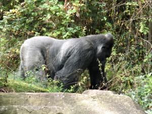 Flachland-Gorilla_4841_1024