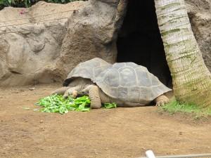 Galapagos-Riesenschildkröte_2222
