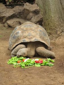 Galapagos-Riesenschildkröte_2224