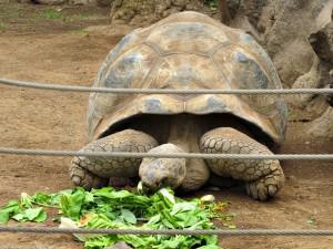 Galapagos-Riesenschildkröte_2930_1024