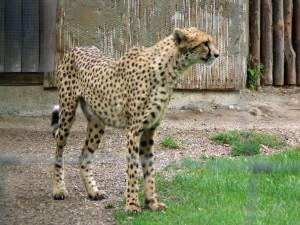 Gepard_0021_1024