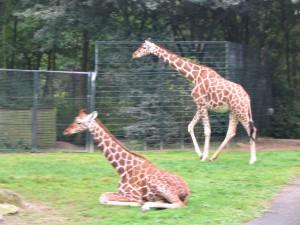 Giraffe_0018_1024
