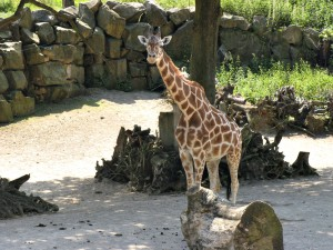 Giraffe_1090_1024