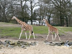 Giraffe_1204_1024