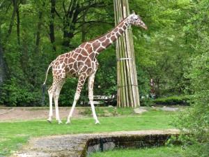 Giraffe_1368_1024