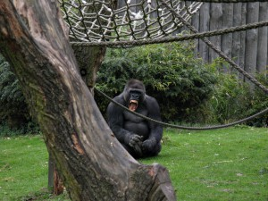 Gorilla_1373_1024