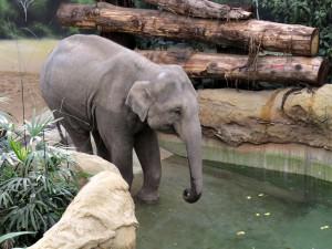 Indischer_Elefant_0822_1024