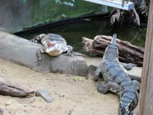 Krokodil_1182_1024