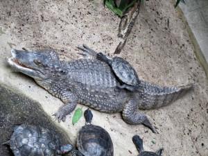 Krokodilkaimain_0142_1024