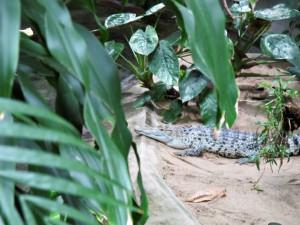 Neuguinea-Krokodil_0156_1024