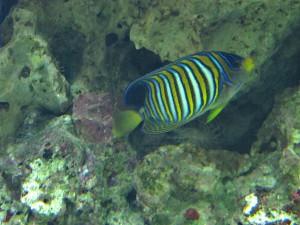Pfauenkaiserfisch_0422_1024