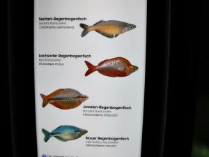 Regenbogenfische_0403_1024