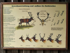 Rothirsch_Geweihentwicklung_5257_1024