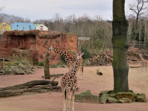 Rothschild-Giraffe_1343_1024
