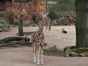 Rothschild-Giraffe_1344_1024