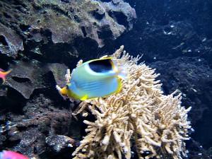 Sattelfalterfisch_0440_1024