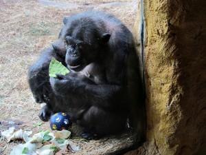 Schimpanse_0172_1024