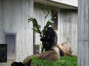 Schimpanse_0757_1024