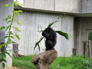 Schimpanse_0759_1024