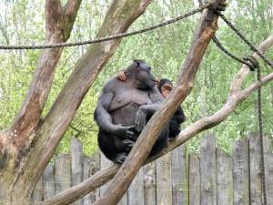 Schimpanse_1376_1024