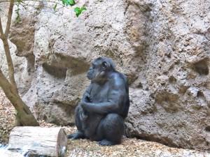 Schimpanse_2932_1024