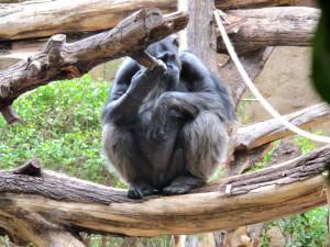 Schimpansen_2934_1024